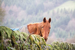 A horse looking over a dry stone wall Stock Image
