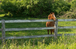 Horse looking over fence. A brown Horse looking over the fence to the greener pastures beyond Stock Images