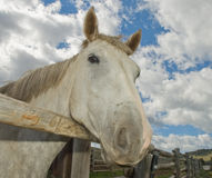 Horse looking over fence. Low angle portrait of friendly grey or gray horse looking over fence, blue sky and cloudscape background stock photography