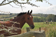 Horse looking over fence with ears forward. Royalty Free Stock Photos