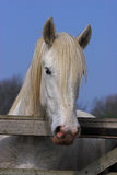 Horse looking over a gate. Stock Photography