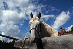 Horse looking over hoarding 1. Horse looking over hoarding; with saddle, before the riding royalty free stock image