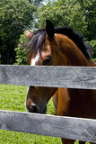 Horse Looking over Split-Rail Fence Stock Photography