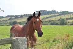 Horse looking over wall with ears forward. Stock Photo