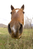 Horse looking straight ahead (wide angle) Royalty Free Stock Images
