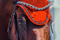 Horse looking straight forward closeup on show jumping competition. Stock Photos