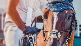 Horse looking straight forward closeup on show jumping field. Royalty Free Stock Photography