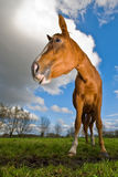Horse looking to the left, wide angle Royalty Free Stock Photography