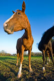 Horse looking to the left, wide angle Royalty Free Stock Image