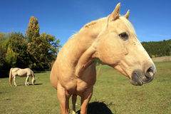 Horse looking at you. Horse looking at the camera in a wide field and one grazing Royalty Free Stock Photo