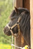 The horse looks out. Black Horse is watching from the barn Stock Image