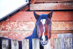 The horse looks out the stables Royalty Free Stock Photos