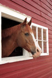 Horse Looks Out Window. Horse pokes his head out a window of the barn royalty free stock image