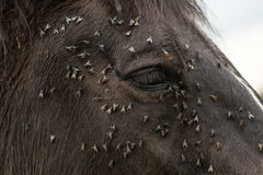 Horse with lots of flies on face and eye Royalty Free Stock Images