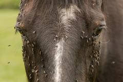 Horse with lots of flies on face and eyes Royalty Free Stock Image