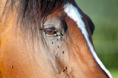 Horse with lots of fly in face Stock Photography