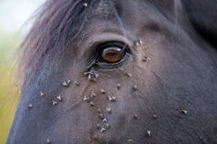 Horse with lots of fly in face Royalty Free Stock Photo