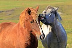 Horse love, on the medow Royalty Free Stock Photography