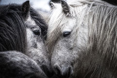Horse in Love Stock Photography