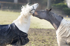 Horse love Stock Photos