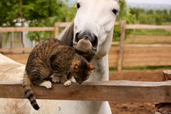 Horse loves kitty. Horse is peting little kitty Royalty Free Stock Images