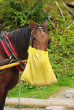 Horse lunch. A working horse during its lunch break eating from a bag Stock Images