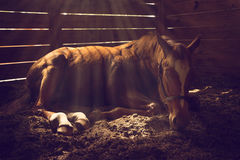 Horse lying down in stall. Young weanling horse lying down in stall with sunbeams sun rays shining down looking tired exhausted sleepy sad sick depressed alone Royalty Free Stock Photo