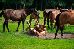 Horse lying in the dust Royalty Free Stock Image