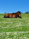 Horse lying on grass with daisies Royalty Free Stock Photography