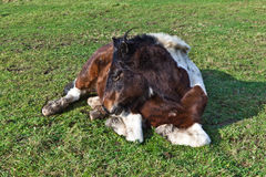 Horse lying on a meadow Royalty Free Stock Photography