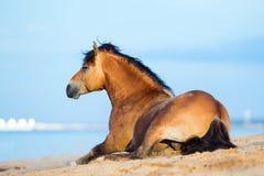 Horse lying near the sea Royalty Free Stock Image
