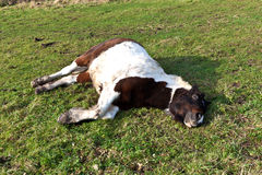 Horse Lying On A Meadow Stock Photography