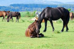 Horse lying in pasture Stock Images