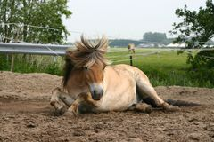 Horse lying in the sand. A fjord horse lying down in the sand Stock Photography