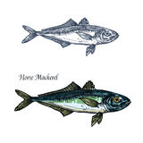 Horse mackerel fish vector isolated sketch icon. Horse mackerel fish vector sketch icon. Isolated sea or ocean scomber or scombridae species of marine fauna Stock Photos