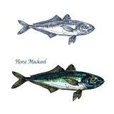 Horse mackerel fish vector isolated sketch icon Stock Photos