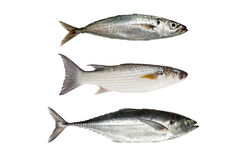 Horse mackerel ,Grey Mullet or flathead mullet ,torpedo scad (Fi Royalty Free Stock Photo