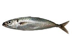 Horse mackerel isolated on white background Royalty Free Stock Image