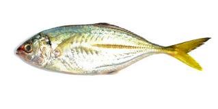 Horse mackerel Royalty Free Stock Photos