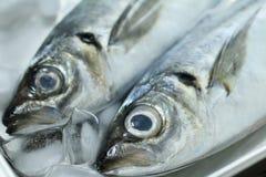 Horse mackerel. Two horse mackerel on ice Royalty Free Stock Image