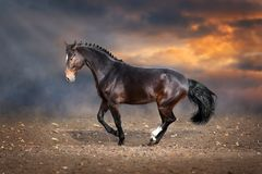 Horse make dressage piaff in dark background. Bay horse dressege on desert dust stock images