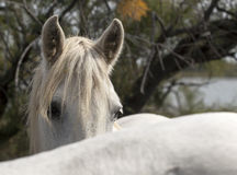 Horse mane Royalty Free Stock Photos