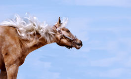 Horse with mane blowing Stock Photos