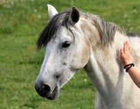 Horse, Mane, Bridle, Horse Like Mammal stock photo