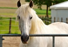 Horse, Mane, Bridle, Horse Like Mammal royalty free stock photography