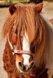 Horse, Mane, Bridle, Horse Like Mammal royalty free stock photos