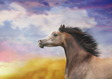 A horse with a mane of developing Stock Photography