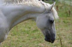 Horse, Mane, Fauna, Horse Like Mammal Royalty Free Stock Photo
