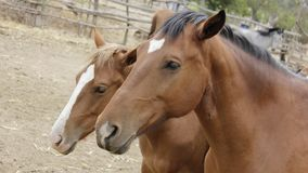 Horse, Mane, Halter, Horse Like Mammal royalty free stock images