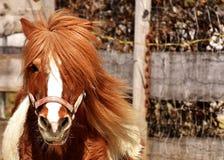 Horse, Mane, Horse Like Mammal, Fauna Royalty Free Stock Images